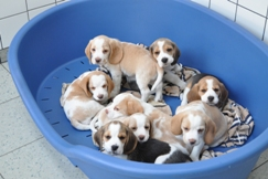 beagle kennel haaren